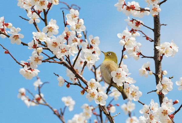Japanese_White_Eye_in_the_Plum_Blossom