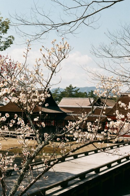 Plum_Blossom_Itsukushima_Shrine_Japan
