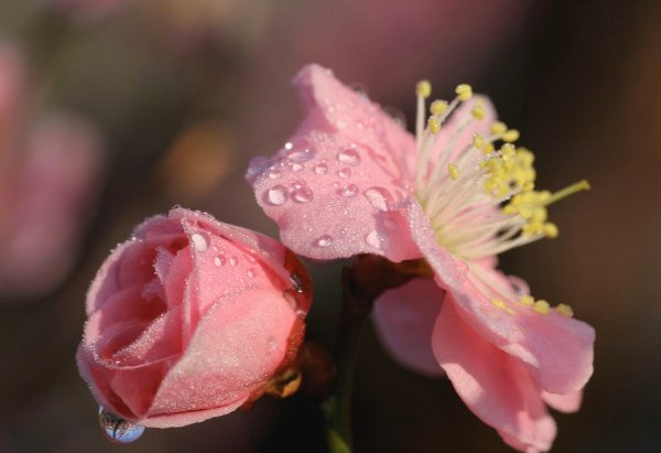 Plum_Blossoms_and_Water_Drops_Japan