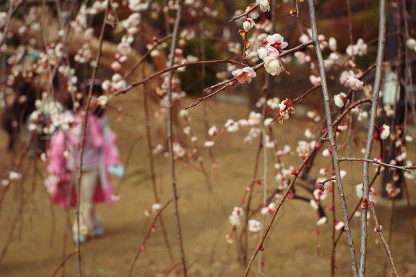 Plum_Blossoms_in_Tokyo_Japan