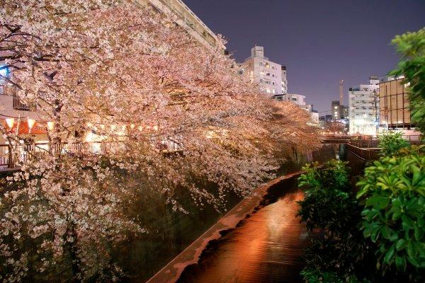 Meguro_River_Sakura_in_Tokyo