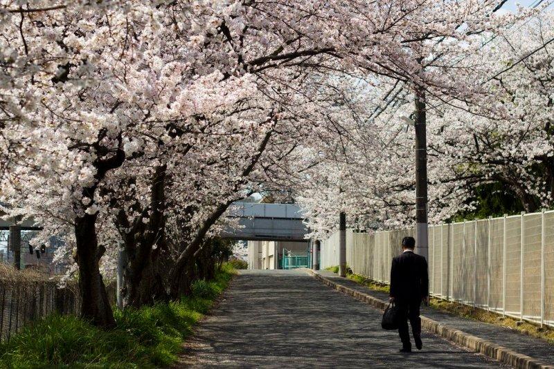 e65bcce9b53 2019 Cherry Blossom (Sakura) and Hanami in Japan