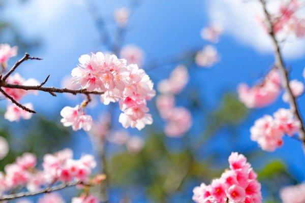 Sakura_in_Okinawa_Japan