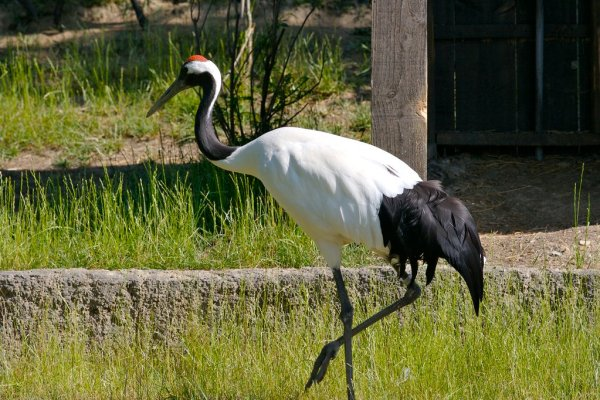 Japanese_Red_Crowned_Crane