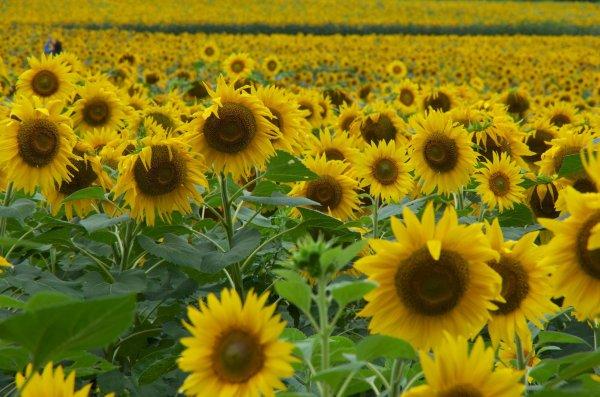beautiful_sunflowers_in_hokuryu