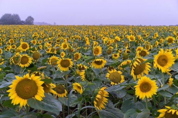 hokuryu_sunflower_village