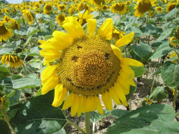 smiley_sunflower_in_hokuryu