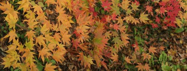 Autumn Leaves in Tohoku   Koyo Season 2019