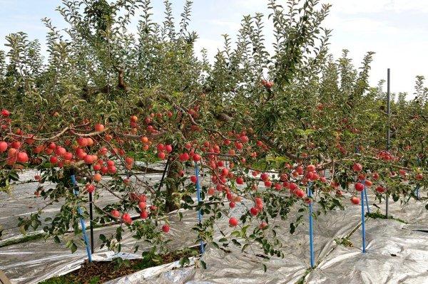 apple_trees_aomori