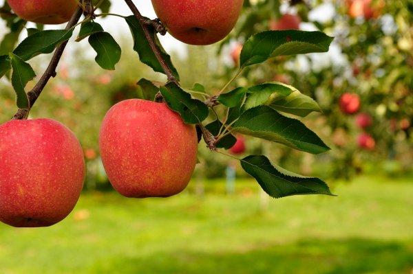 hirosaki_apple_park_in_aomori_japan