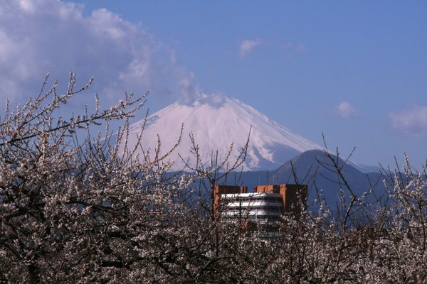 mout_fuji_and_plum_blossoms_soga_bairin