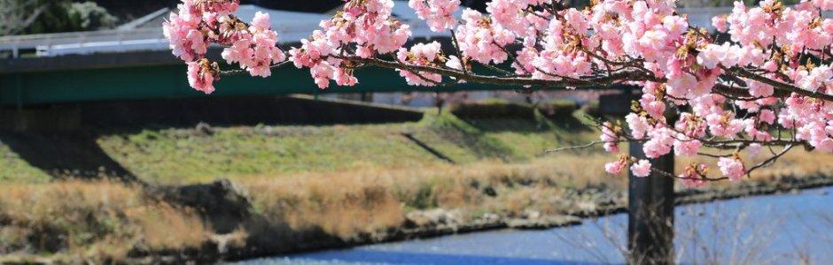 Kawazu Cherry Blossom Festival 2018 | Visit Shizuoka