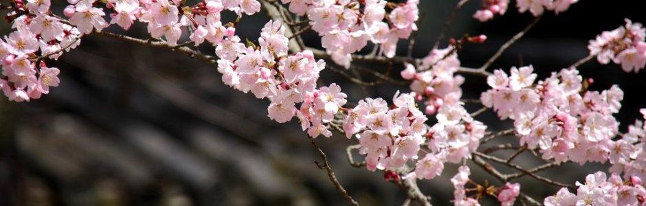 2017 Japan Cherry Blossom Forecast