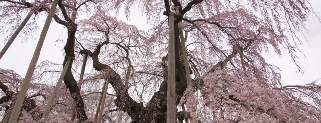 11 Famous Sakura Trees in Japan