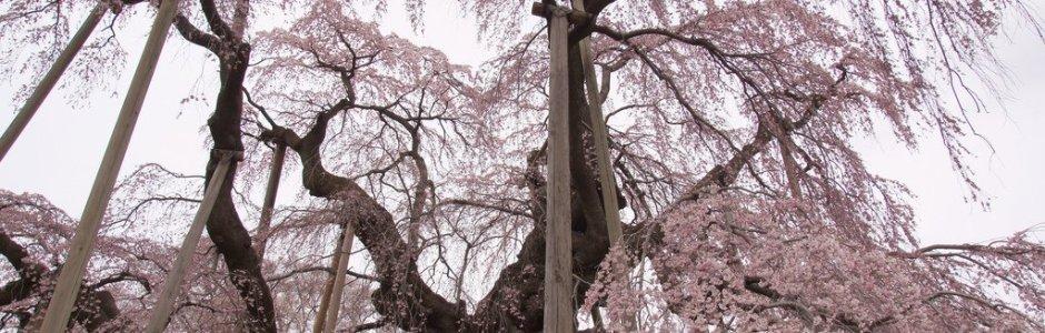 11 Famous Sakura Trees in Japan