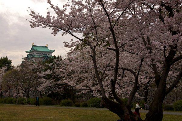 nagoya_castle_cherry_blossom_japan