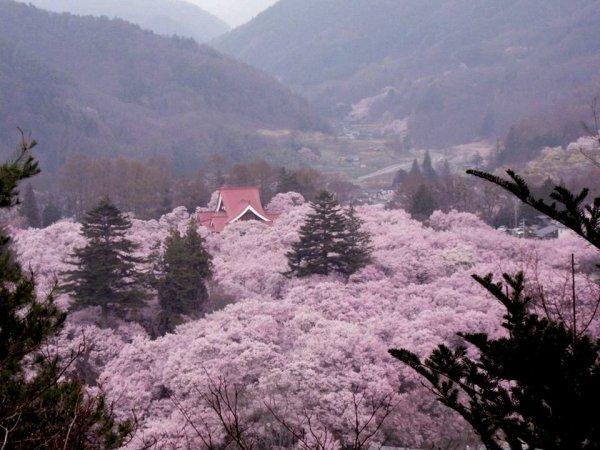 takato_castle_ruins_park_cherry_blossoms