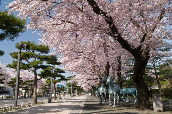 towada_city_kanchogai_dori_in_spring_aomori
