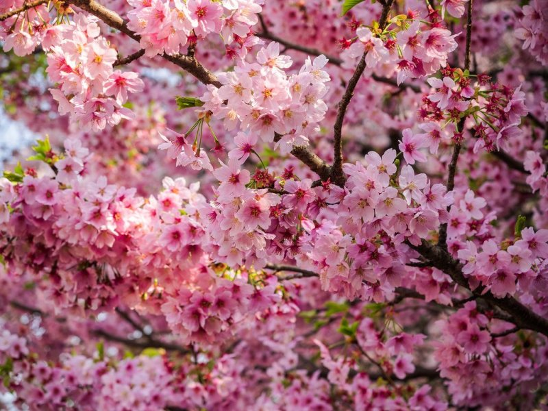 10 most popular sakura varieties in japan kyuhoshi the cherry trees have bloomed beautifully with delightful blossoms in many parts of japan lately some cherry trees are being prepared to be bloomed mightylinksfo
