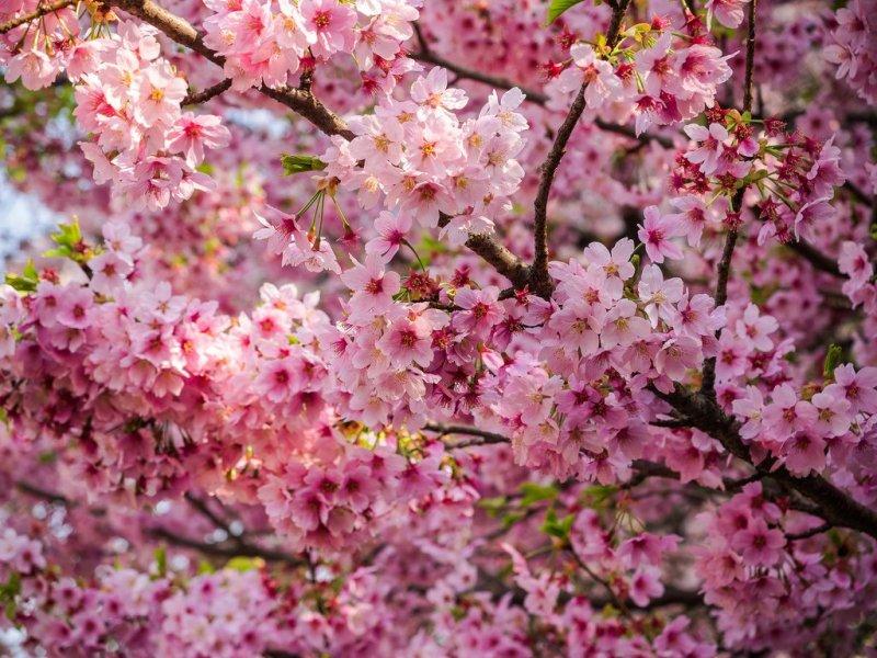 10 most popular sakura varieties in japan kyuhoshi 10 most popular sakura varieties in japan mightylinksfo