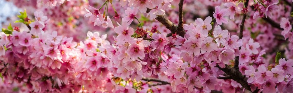 10 most popular sakura varieties in japan kyuhoshi 10 most popular sakura varieties in japan mightylinksfo