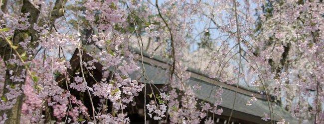 Kakunodate Cherry Blossom Festival 2019