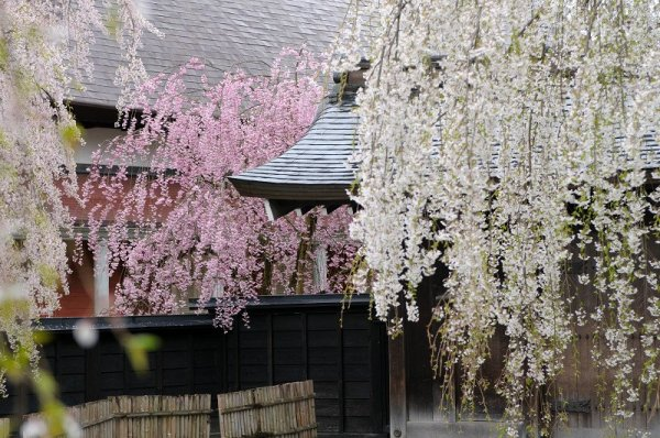 kakunodate_samurai_residences_and_weeping_cherry_blossoms