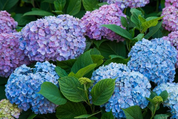 hydrangea_photo_japan
