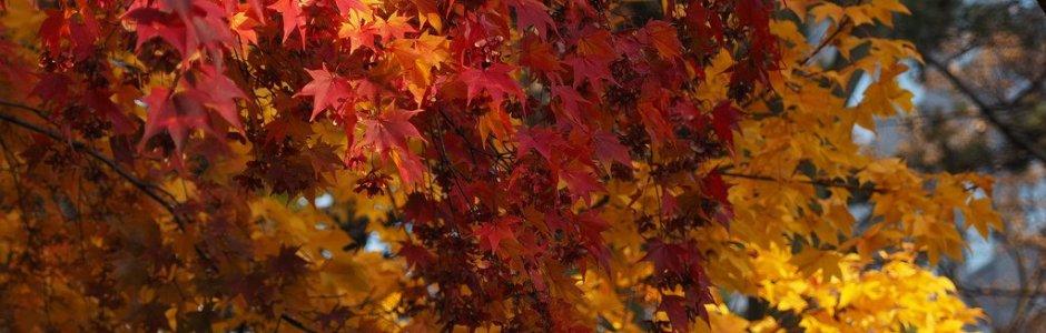 Autumn Leaves in Hokkaido | Japan Fall 2020