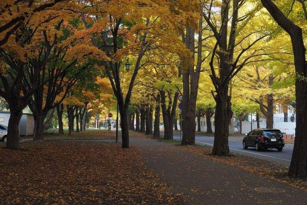 hokkaido_university_fall_foliage_sapporo
