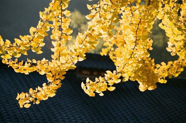 ginkgo_leaves_aichi