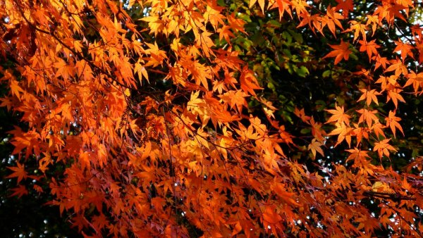 maple_leaves_osaka