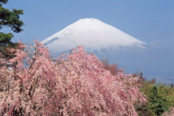 mount_fuji_sakura_japan