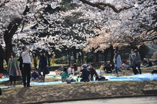 sakura_yoyogi_park_tokyo