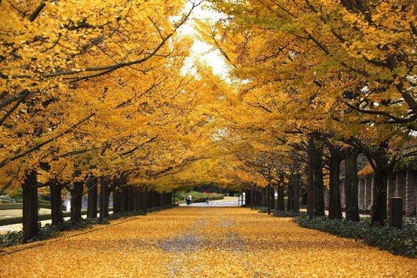 showa_kinen_park_ginkgo_trees