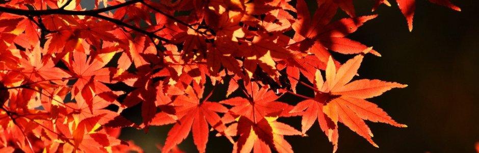 Autumn Leaves in Tokyo | Japan Koyo 2020