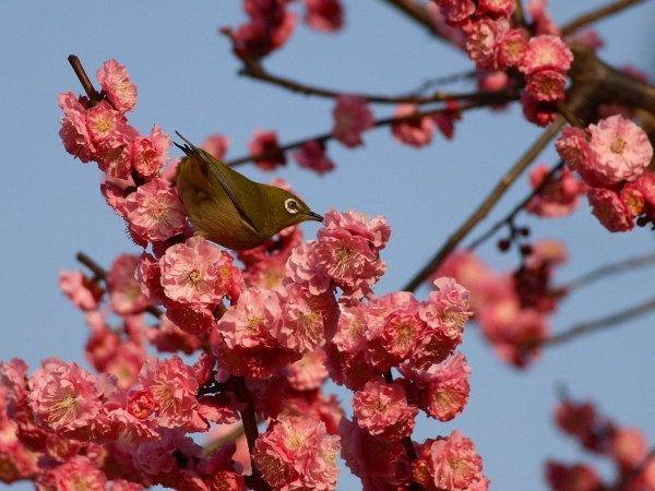 plum_blossoms_kyoto
