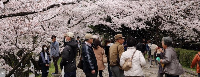 7 Days in Japan Spring Itinerary – Cherry Blossom Tour