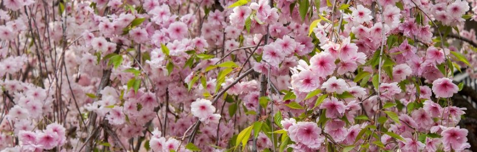 5 Best Places to See Cherry Blossom in Osaka