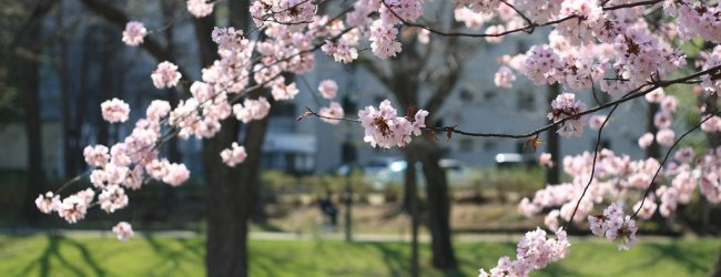 4 Best Places to See Cherry Blossom in Sapporo