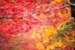 2020 Japan Autumn Foliage Forecast