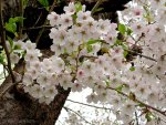 2021 Japan Cherry Blossom Forecast