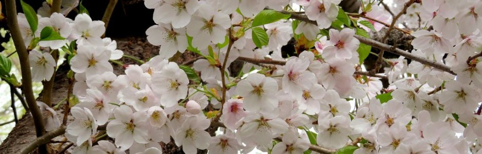 2020 Japan Cherry Blossom Forecast