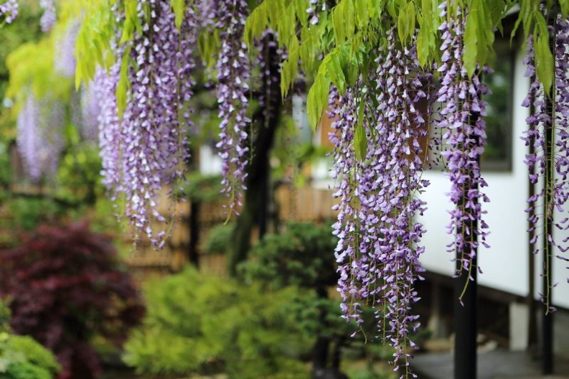 7 Best Places To See Wisteria In Japan Kyuhoshi