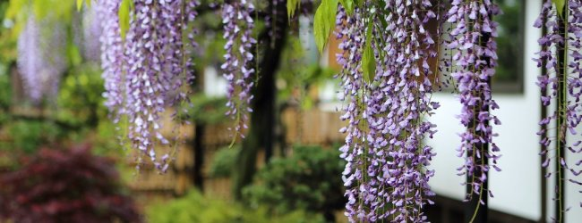 7 Best Places to See Wisteria in Japan