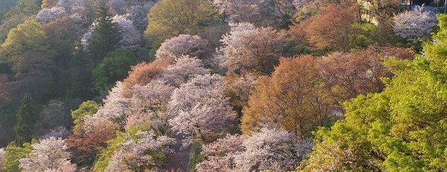 8 Best Places to See Cherry Blossom in Nara
