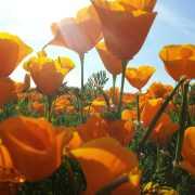 poppies-400831_1920