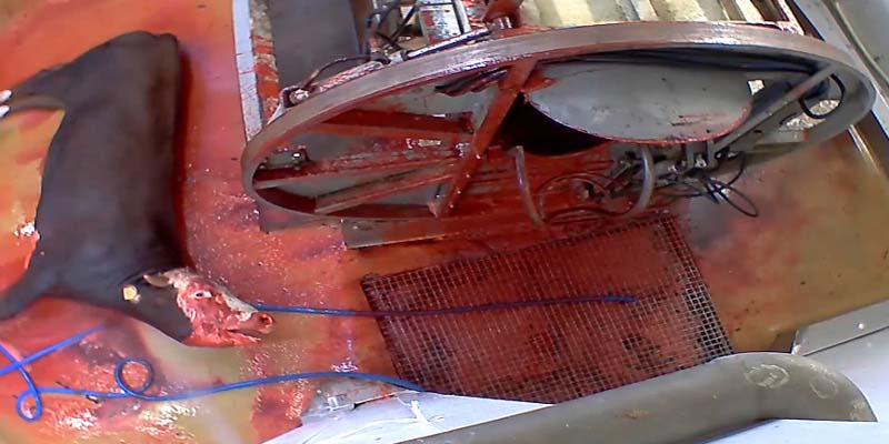Photo d'un bovin saigné dans l'abattoir d'Ales - France