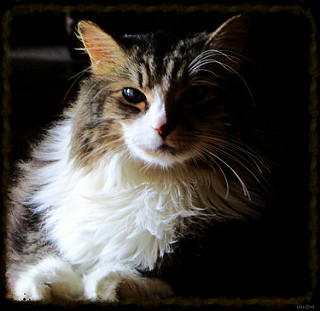 Le Maine Coon – Le chat-chien câlin