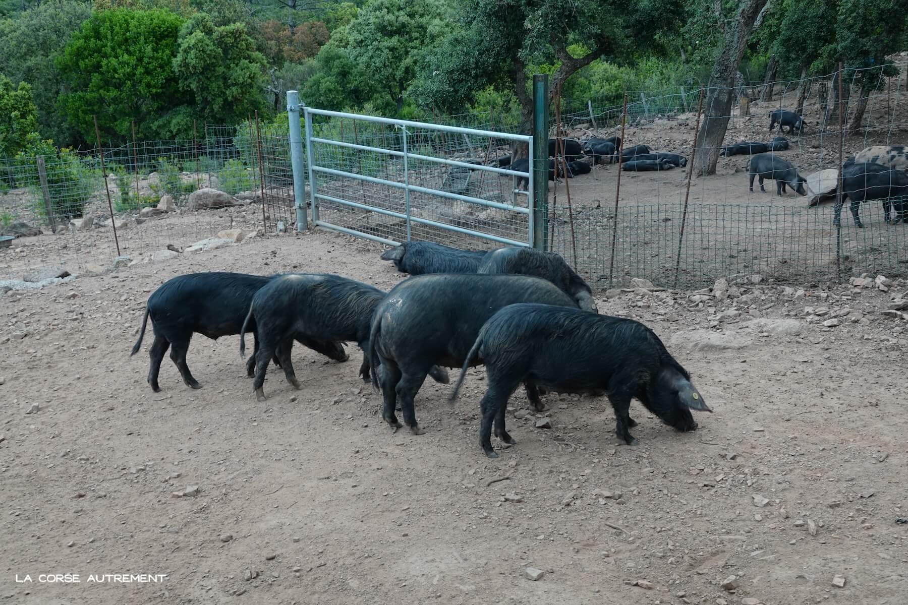 U Porcu Ranger, Figari